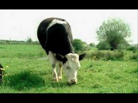 I am cow
