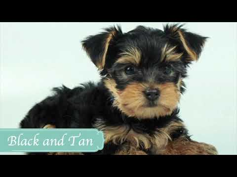 Yorkshire Terrier Colors