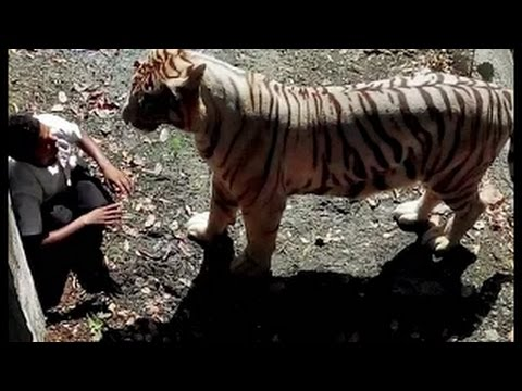 Tiger Attack at New Delhi Zoo