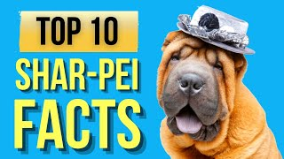 Sharpei Dogs (Top 10 Interesting Facts )