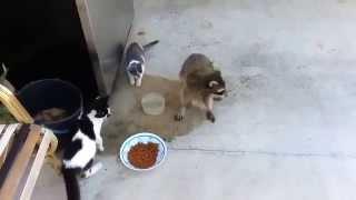 Наглый енот крадет еду у кошек