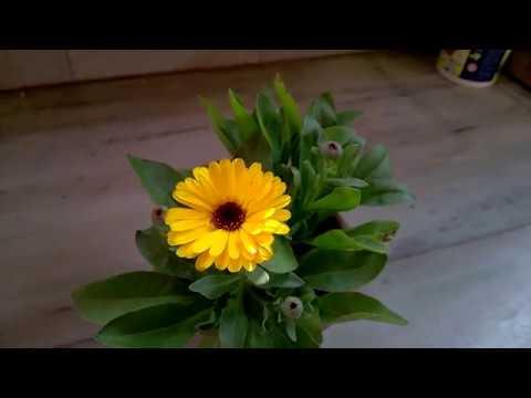 Calendula Plant Care Bengali Youtube
