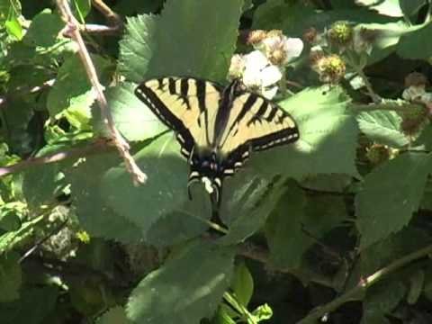 Swallowtails in the Willamette Valley