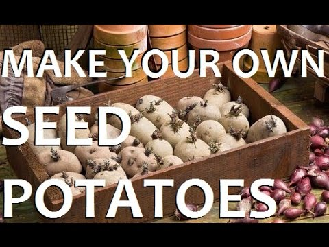 How To Make Your Own Seed Potato Sets For CHEAP!