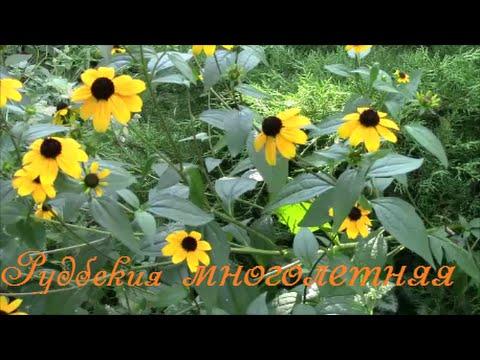 Рудбекия многолетняя неприхотливое растение для сада. Rudbeckia perennial