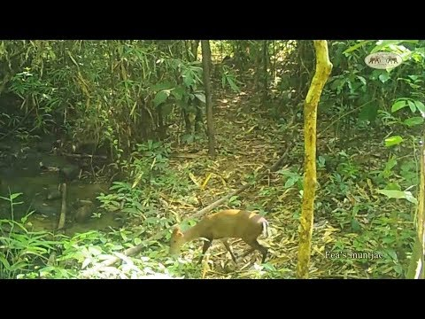 Gaur family, Malayan Tapir, Asian Golden Cat and plenty of other wildlife caught on camera traps!