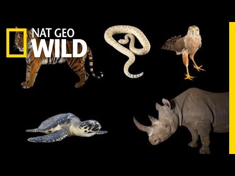 Meet Some of the World's Most Endangered Animals | Nat Geo Wild