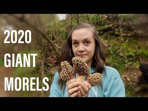 Morel Mushrooms 2020 Georgia GIANTS