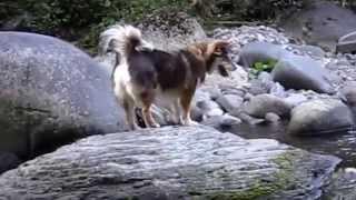 水が大嫌いなマタギ犬リン子.