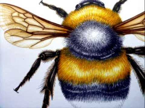 Lizzie Harper Illustration White Tailed Bumble Bee