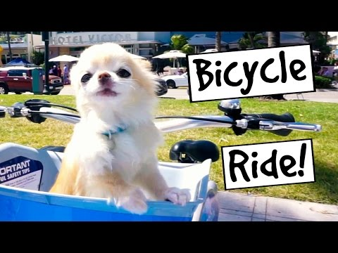 Cute Puppy Size Chihuahua Riding a BIKE in Florida