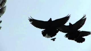 Николаевские голуби (001)
