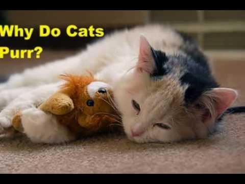 Why Do Cats Purr? Learn All about Cat Purring! - Kitty Desires