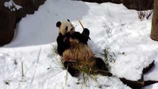 Panda Bear Tian Tian Enjoys The Snow At The National Zoo In Washington, DC (VIDEO)