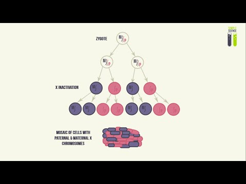Mosaicisms - Part 3 - Mosaicism of the X Chromosome (X Inactivation)