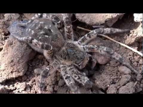 Большой ядовитый паук-Южнорусский тарантул