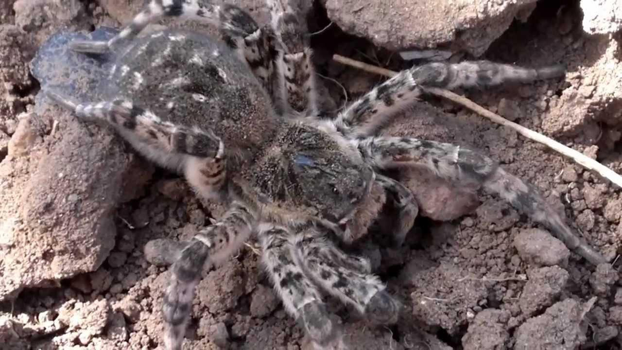 Паук тарантул фото  Фото мир природы