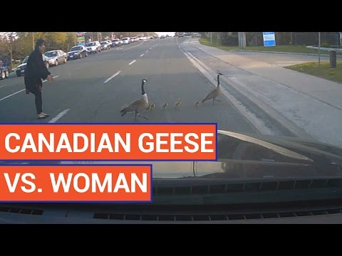 Woman vs Geese | Daily Heart Beat