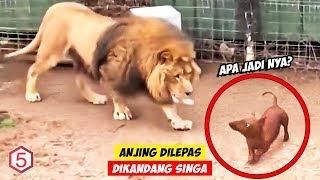 Mereka Melepas Anjing Mungil di Kandang Singa, Lalu Mereka Terkejut dengan apa yang terjadi