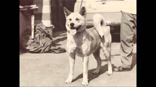 1964年秋田犬の様子 当時はまだ、アメリカン秋田が展覧会にいます 現在...