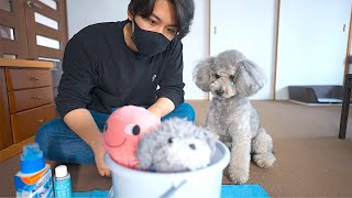 🐶犬の一番お気に入りのぬいぐるみを洗濯したら・・・切なくて胸が締め付けられました。【トイプードル】