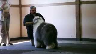 Seattle All Breed Dog Handling Workshop With Eric Salas