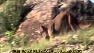 Dogo Argentino - documental realizado por Animal Planet acerca de la raza