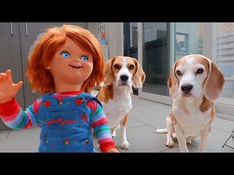 Dogs vs Chucky : Funny Beagles Louie & Marie