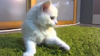 "беленький котенок (порода ""турецкая ангора"") . зовут Бусинка. мальчик"