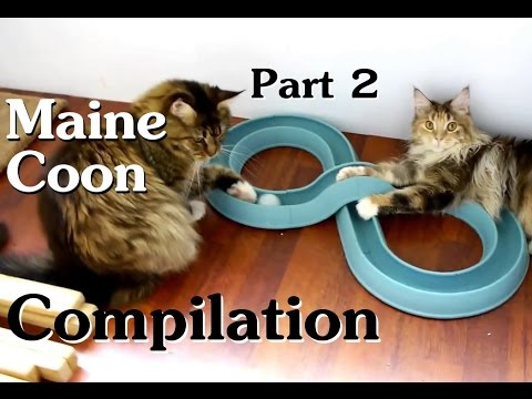 Maine Coon Compilation - Part 2 of Maine Coon Cats doing Maine Coon things