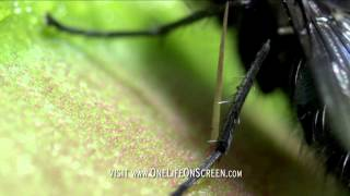 Venus fly trap in deadly action - One Life - BBC