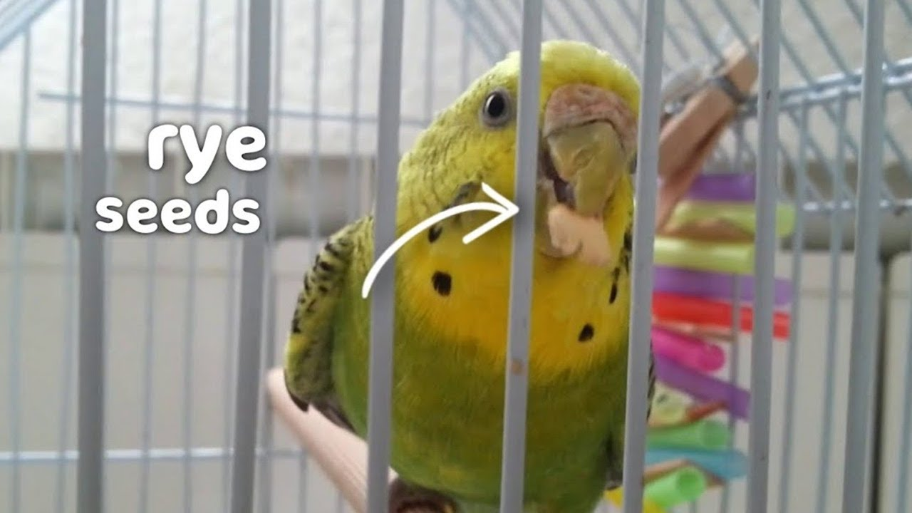 budgie takes treats from hand
