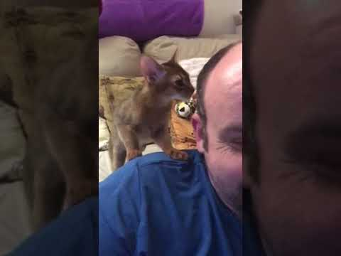 Abyssinian Kittens love.  AbyCuties Cattery.