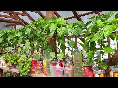 Какая нужда гнала в холодный грунт сажать томаты Продолжаем кочегарить Обзор в теплице
