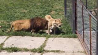 Лев соблазняет львицу