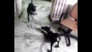 Doberman Pup(tommy) & Rajapalayam Adult(puppy) Playing :)
