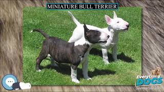 Miniature Bull Terrier  Everything Dog Breeds