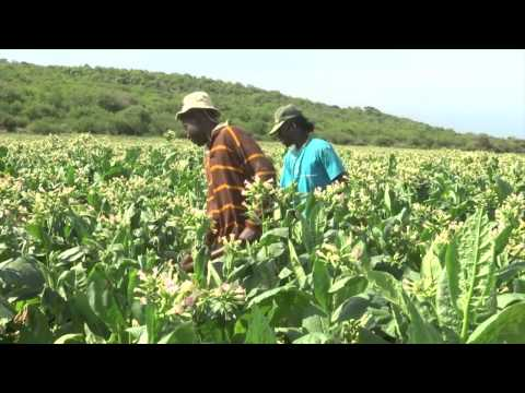 Boeing and South African Airways turning Tobacco into jet fuel