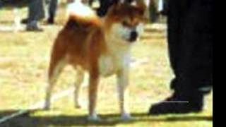фильм о маленькой собачке Жужу, породы сиба-ину