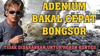 Gambar cover Cara memperbesar bonggol Adenium - Klasik