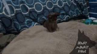 Puppy Pounces Like A Fox