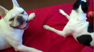 Boston Terrier Vs French Bulldog Funny!
