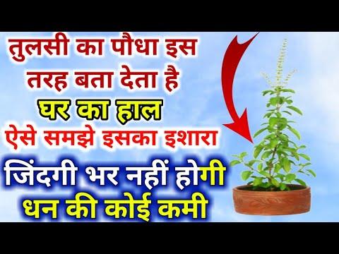 तुलसी का यह पौधा इस प्रकार बता देता है घर का हाल, ऐसे समझे इसका इशारा जिंदगी भर नहीं होगी धन की कमी
