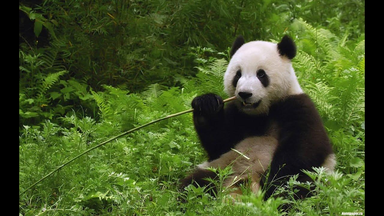 IUCN: большая панда исключена из списка исчезающих животных