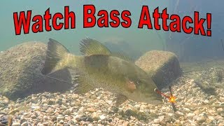 Bed Fishing Smallmouth Bass - Watch Them Attack!