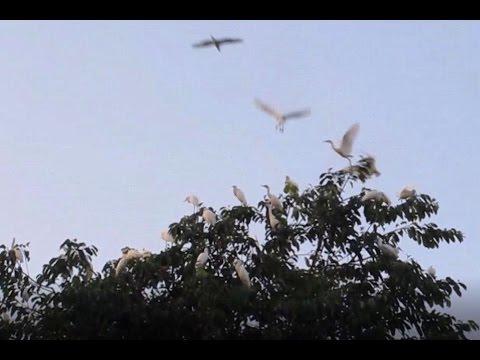The White Herons of Petulu, Bali: A sky full of birds.