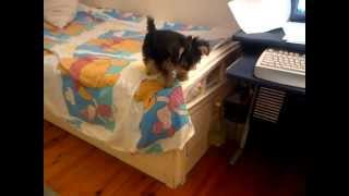 Little Oreo Jumping From Bed - Yorkshire Terrier Dog