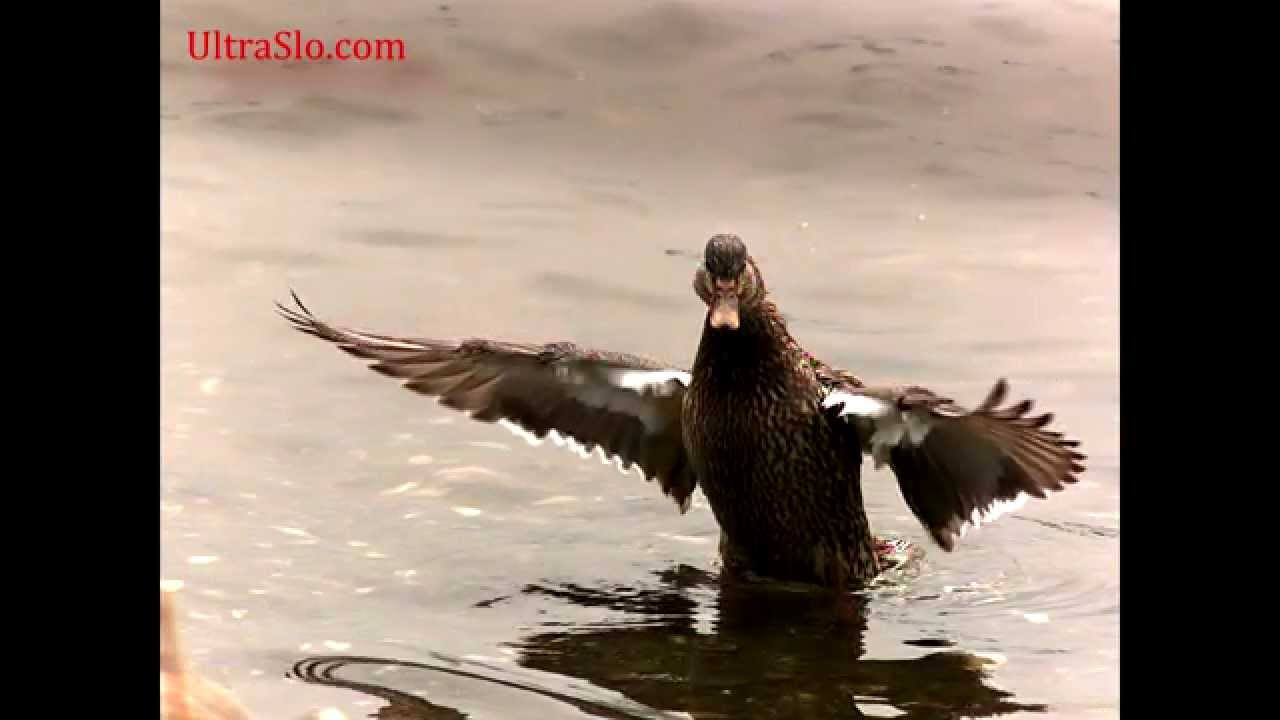 Slow motion Duck beating wings