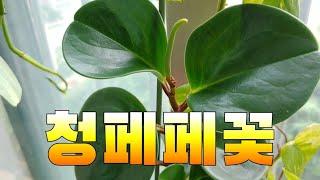 #청페페꽃 #미니멀라이프 #플랜테리아 #베란다 정원