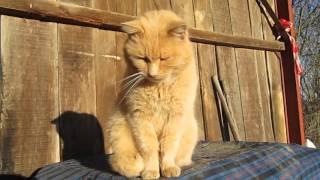 Рыжие  коты. Французские друзья греются на солнце